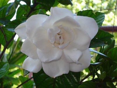 Jazmín: cuidados y propiedades de la planta del perfume