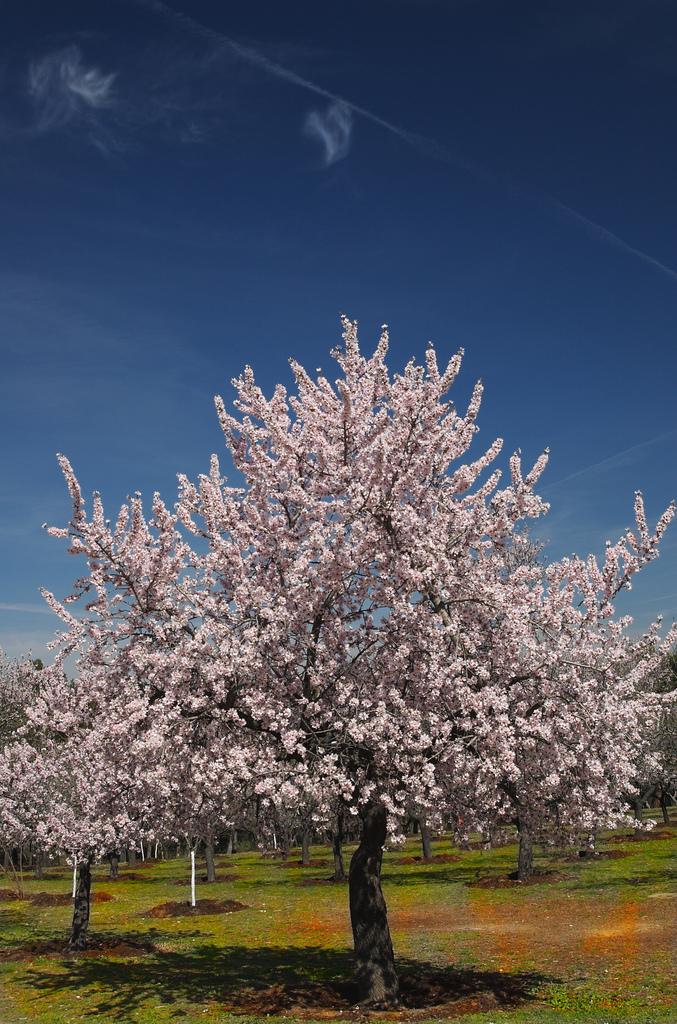 El Almendro: el árbol de las almendras