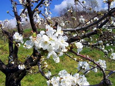 Cerezo: un árbol bello por sus flores y deliciosas frutas