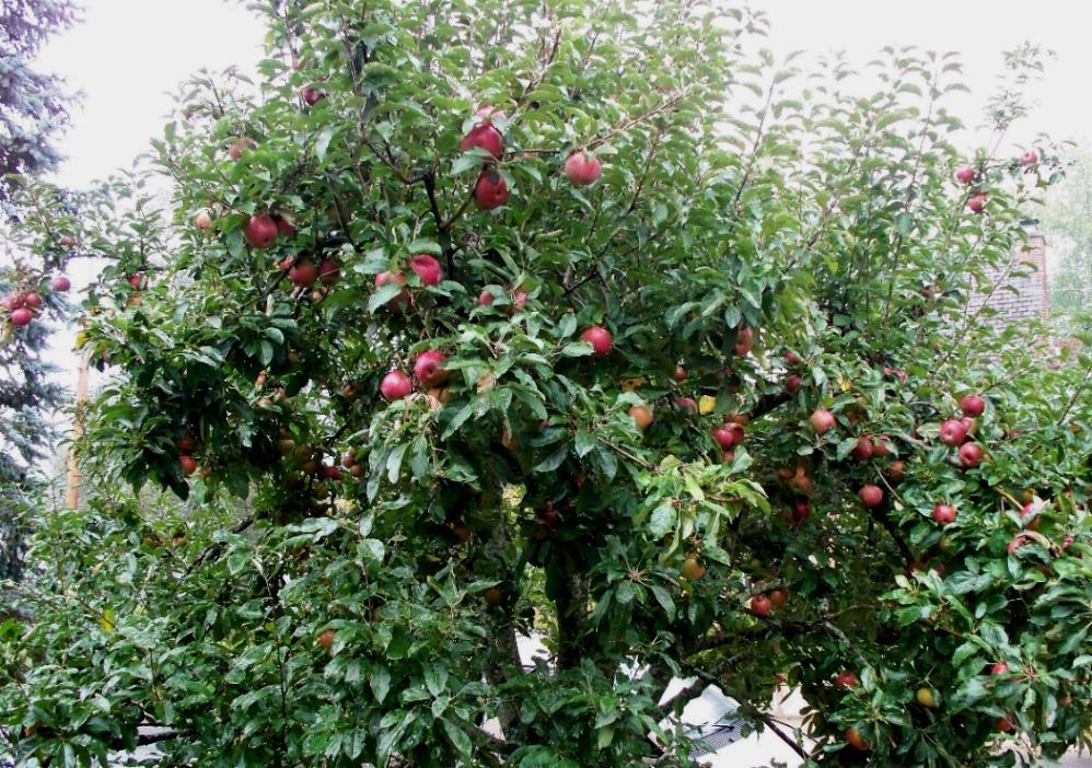El manzano, un árbol exquisito
