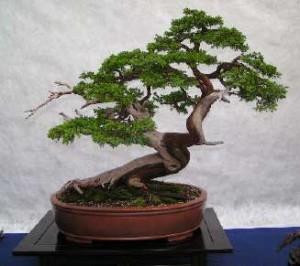C mo cuidar un bonsai nociones b sicas y primeros pasos - Como cuidar un bonsai ...