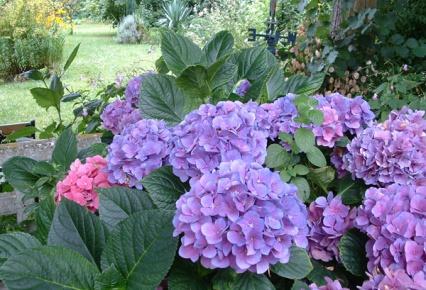 Cultivo de Hortensias rosas y azules.