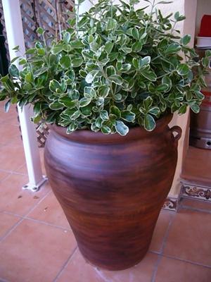 Qu rboles se pueden tener en casa arboles plantas - Arboles de interior ...