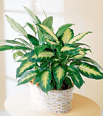 Cuidado! plantas de interior venenosas.