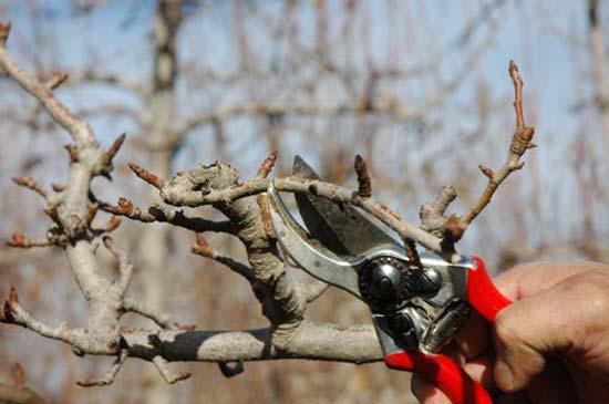 Epoca y forma de poda de los frutales frutales for Cuando se podan los arboles frutales