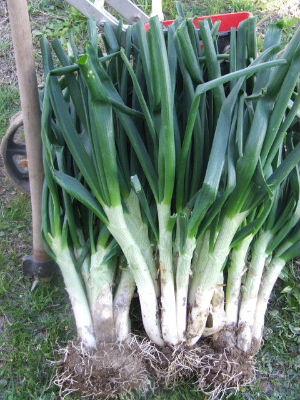 Cultivo de Narcisos y jacintos: suelo, cuidados y riego