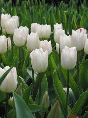 Cultivo de bulbos de Tulipanes: suelo, cuidados y riego