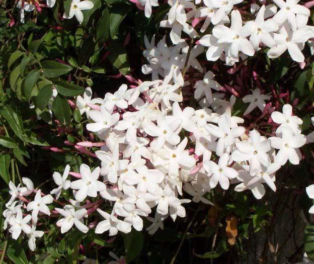 La Flor más bella, el Jazmín: cuidados y propiedades