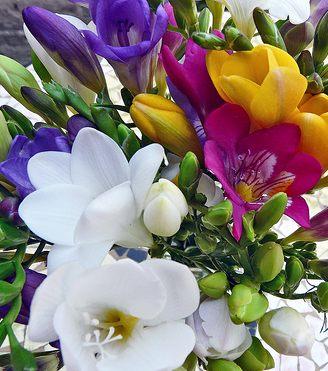 Perfuma tu jardín con las Fresias: cultivo y cuidados
