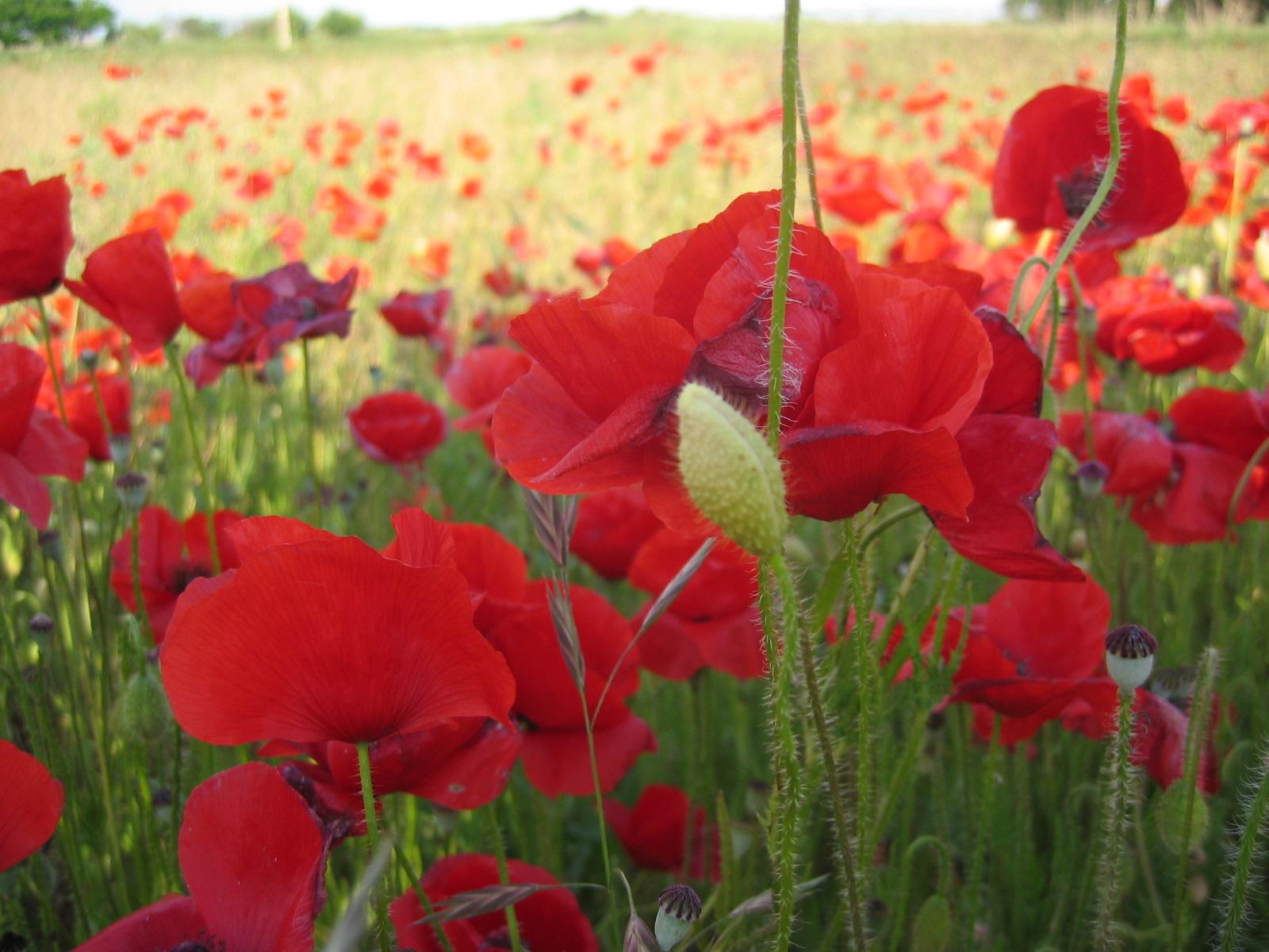 amapolas clima cultivo suelo y riego flores riego