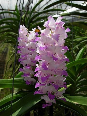 Orquídeas de la especie Aerides