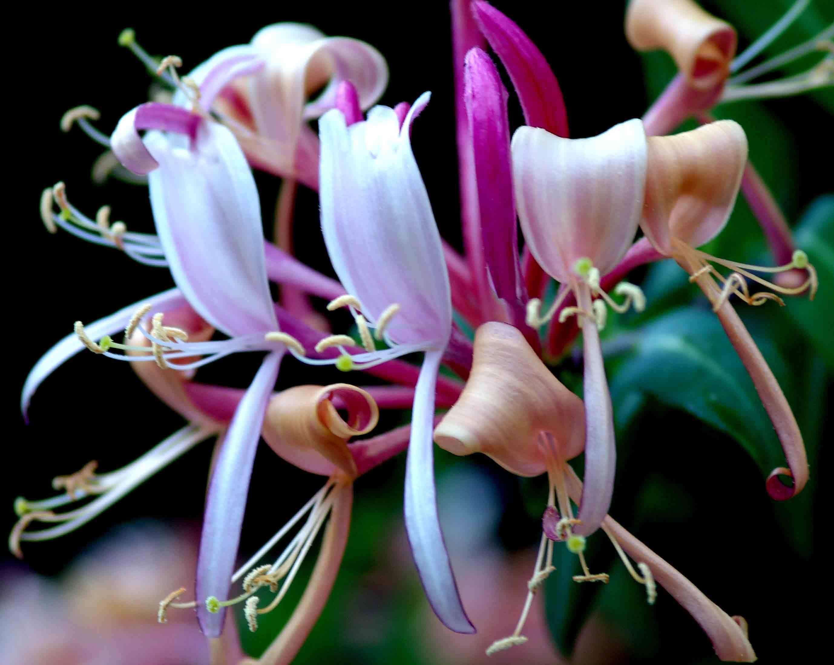 Madreselvas: un exótico y perfumado arbusto trepador