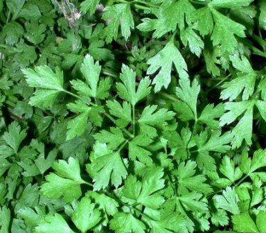 cilantro o perejil: cultivo, riego y cuidados huerta, macetas