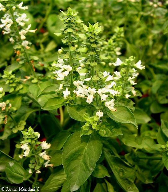 Albahaca: siembra, cuidados, riego y suelo