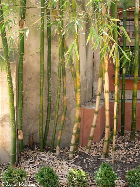 Cultivo cuidados y mantenimiento de la ca a de bamb jardin plantas siembra flor de planta - Bambu planta exterior ...