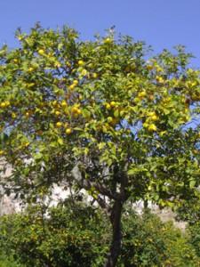 Todo sobre limoneros c mo y d nde plantarlos cuidados espec ficos arboles frutales riego - Cuando se plantan los arboles frutales ...