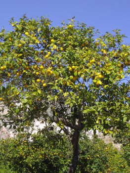 Todo sobre limoneros: cómo y dónde plantarlos. Cuidados específicos