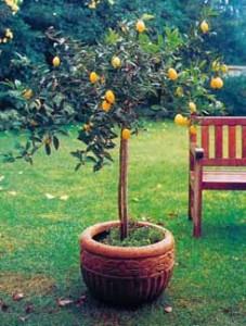 Todo sobre limoneros c mo y d nde plantarlos cuidados espec ficos arboles frutales riego - Arboles bonitos para jardin ...