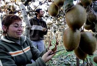Cultivo de kiwi: cómo obtener buenas plantas en su hogar