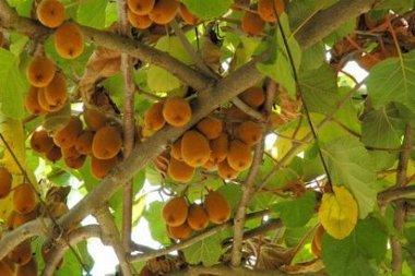 Cultivo de kiwi c mo obtener buenas plantas en su hogar - Cuando plantar frutales ...
