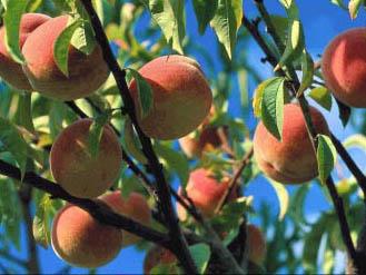 Cultivo de durazneros: el placer al alcance de la mano