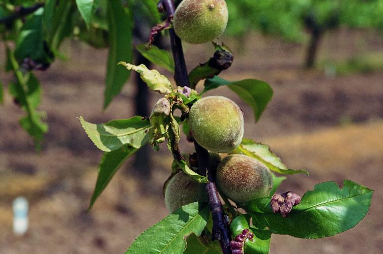 Cultivo de durazneros el placer al alcance de la mano - Cuando plantar frutales ...