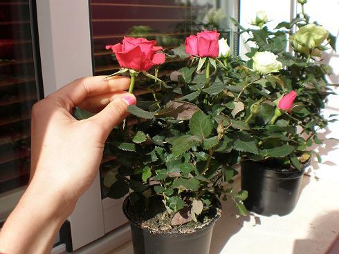tipos de rosas: clasificación y variedades de rosales diseño
