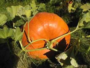 Huertas caseras: el cultivo de la calabaza