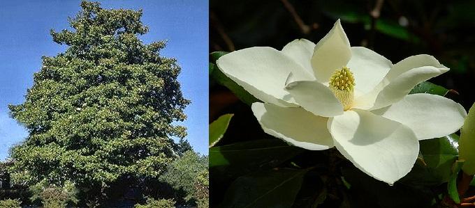 Embellecer el jardín con magnolias: las diferentes especies