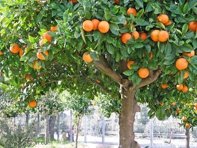 Mandarina, necesidades para el cultivo: clima, suelo, abono, riego, poda, cosecha