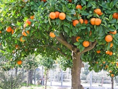 Mandarina necesidades para el cultivo clima suelo for Plantas frutales