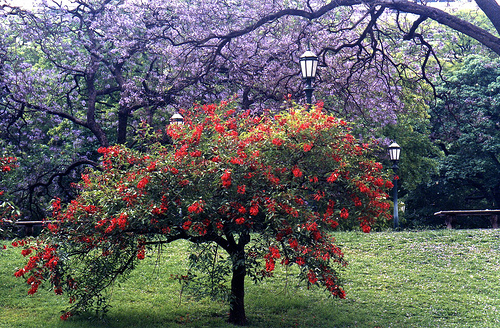 Ceibo: árbol floral y pintoresco, flor nacional