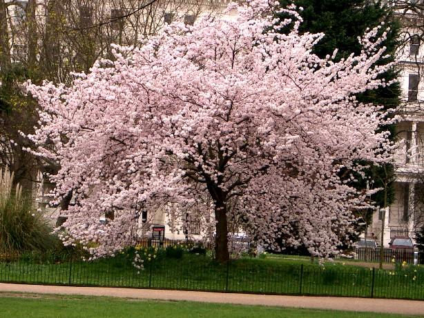 Cultivo y cuidados b sicos del cerezo arboles frutales for Arboles plantas y flores