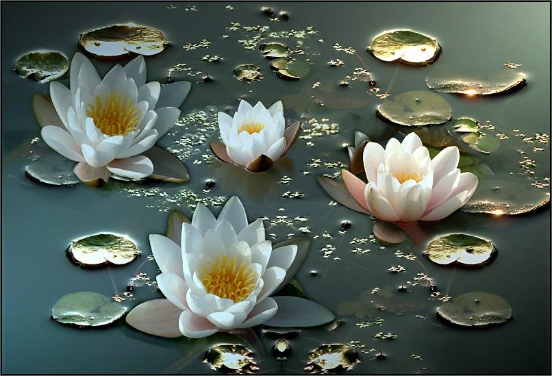 Flores acuáticas: Loto, emblema de pureza