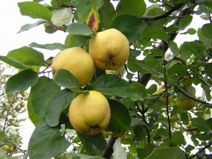 Todo sobre el cuidado del árbol de Membrillo