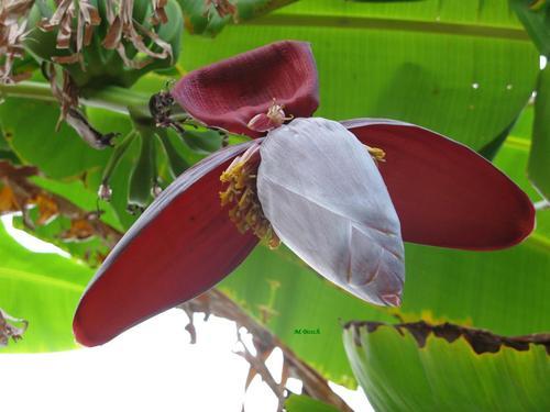 Atrévete a innovar: bananeros como plantas de interior