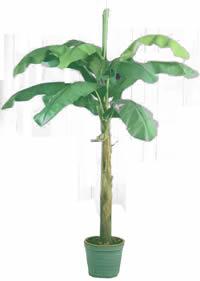 Atr vete a innovar bananeros como plantas de interior for Banano de jardin