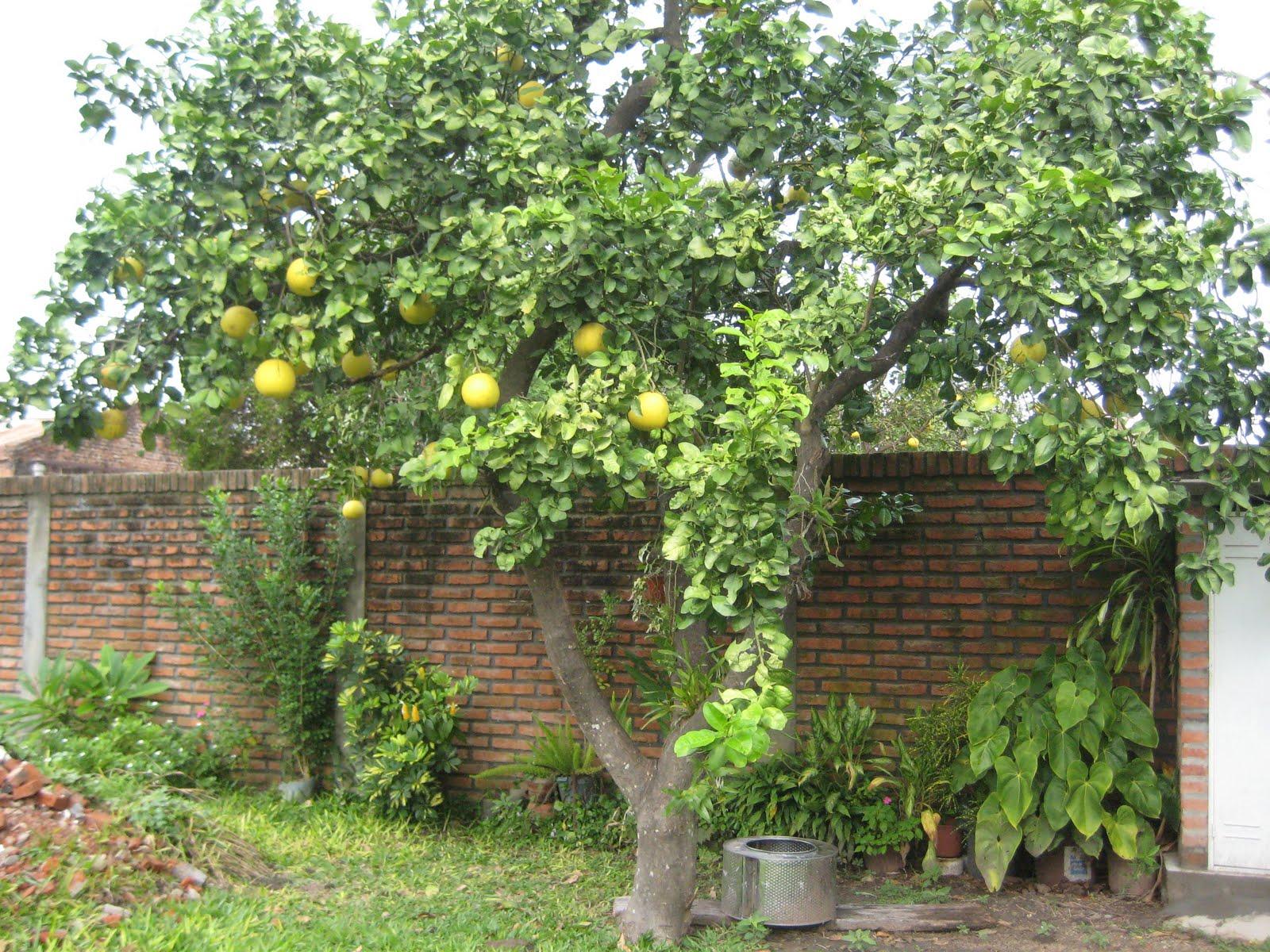 Cultivo y cuidados b sicos del pomelo arboles frutales for Arboles frutales para el jardin
