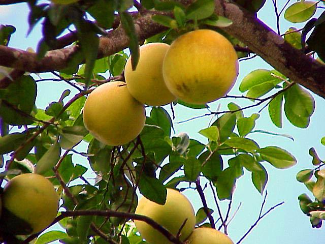 Cultivo y cuidados b sicos del pomelo arboles frutales for Arbol con raices y frutos
