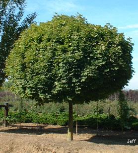 Cultivo y cuidados b sicos del pomelo arboles frutales for Arboles de jardin para sombra