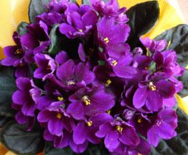El maravilloso mundo de las violetas: diferentes variedades