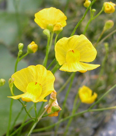 Plantas carnívoras: cultivo de Utricularia