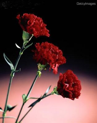 cultivo de claveles: reproducción, siembra, cuidados y variedades