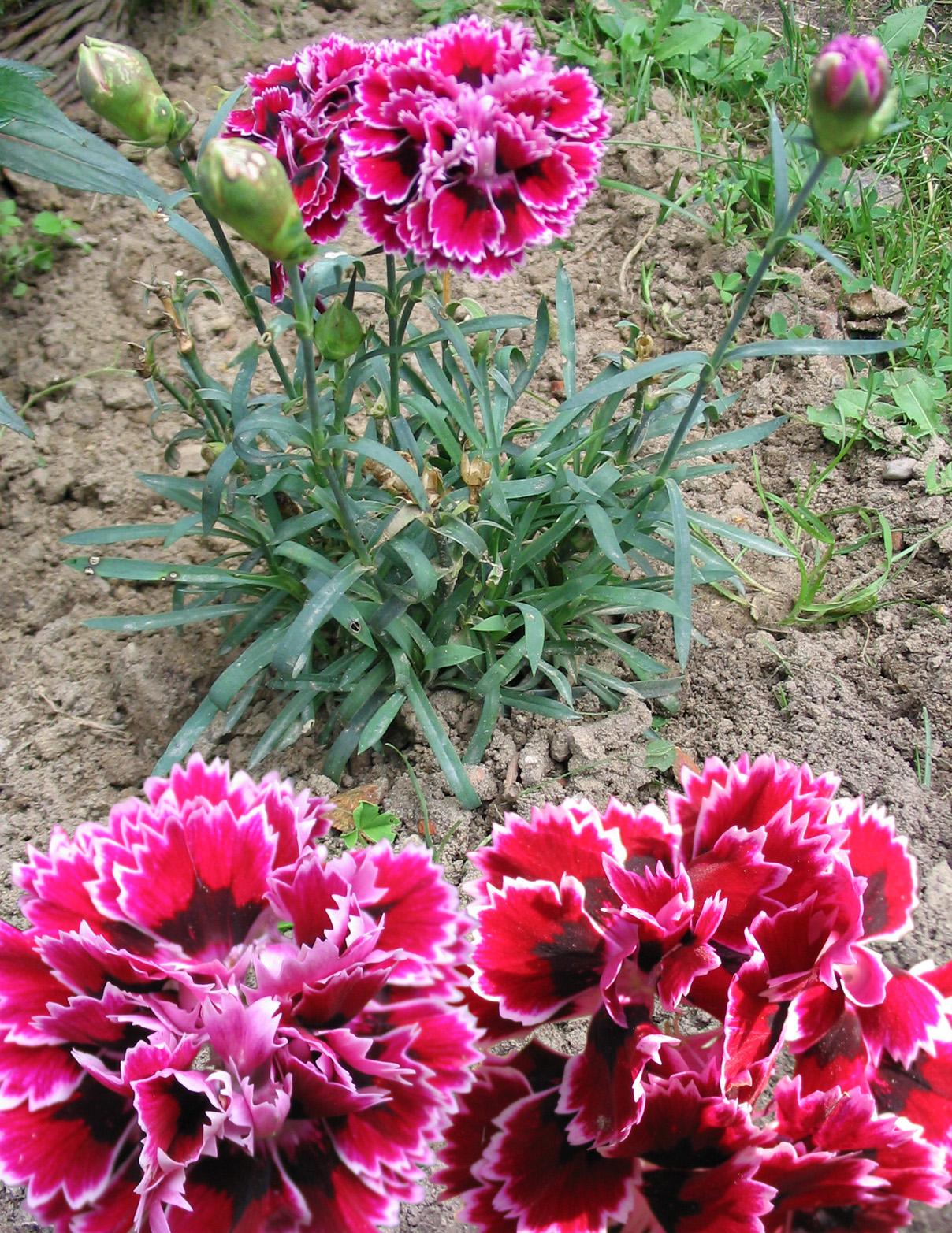 Cultivo De Claveles Reproducción Siembra Cuidados Y Variedades Flores Jardin Flor De Planta
