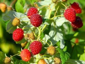 Cultivo y cuidados de frambuesos