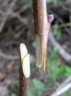 Injertos de p a injerto ingl s o de leng eta arboles frutales flor de planta flor de planta - Cuando se plantan los arboles frutales ...