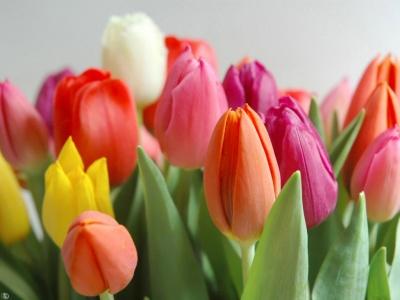 Fotos de flores tulipanes 81