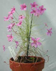 Plantas carnívoras: Byblidaceae, la planta arco iris