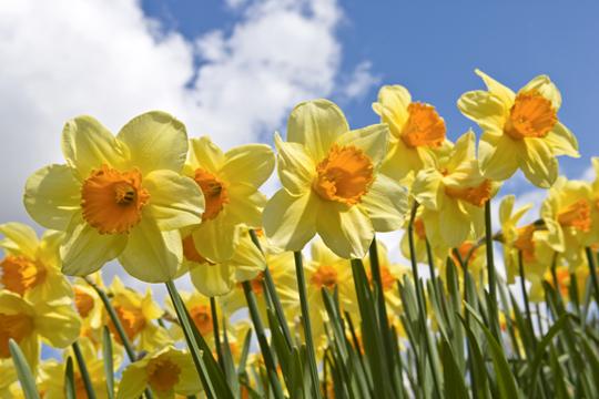 narcisos siembra y cuidados generales flores flor de