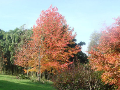Rboles ornamentales c mo elegir los m s adecuados for Arboles ornamentales de jardin de hoja perenne